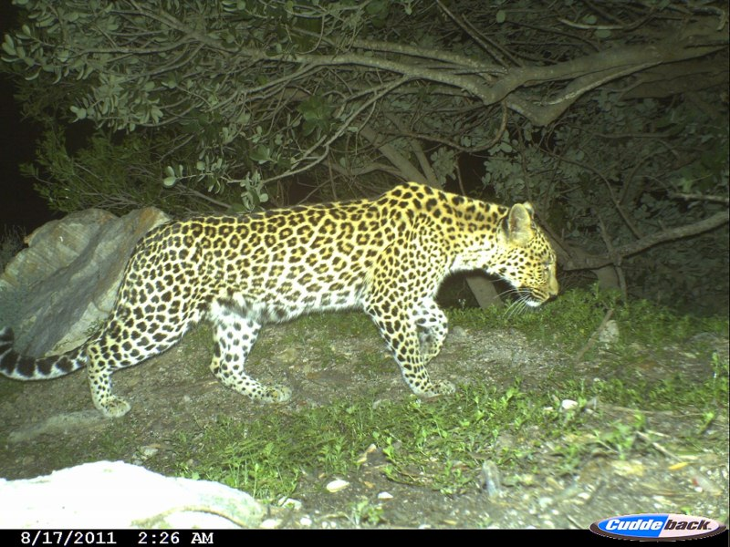 Leopards spotted in Wemmershoek mountains