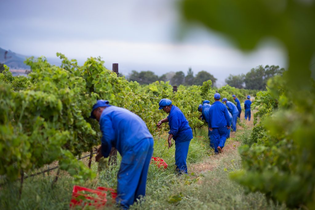 South African Wine Grape Harvest 2015 – Initial Expectations