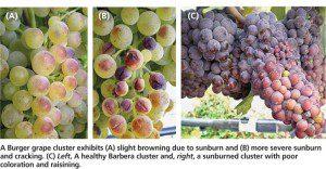 sunburn grapes 300x156