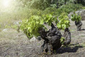 old vine rs