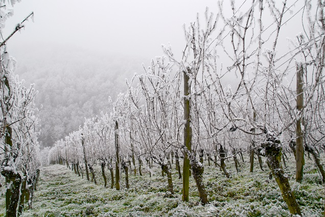 Snow vineyards rs